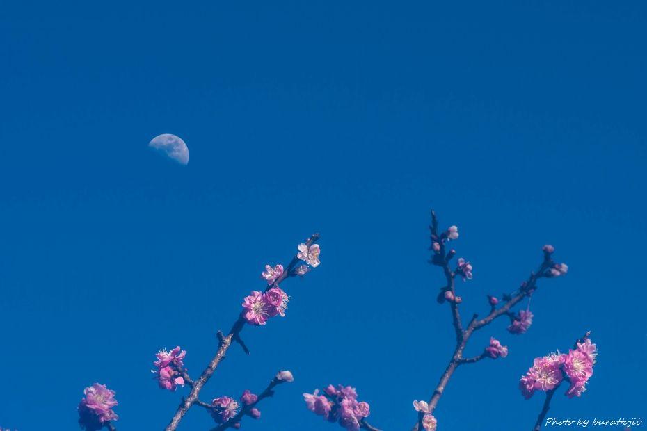 2015.03.28兼六園梅林12