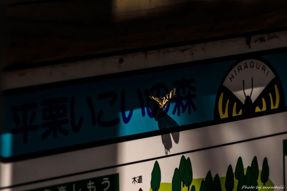 2015.03.31平栗のカタクリ10