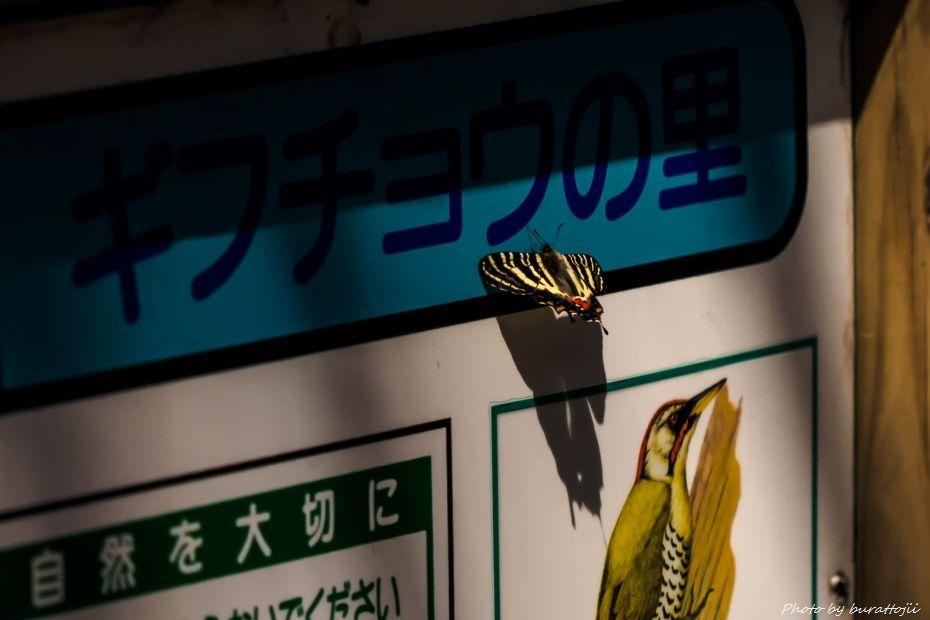 2015.03.31平栗のカタクリ8