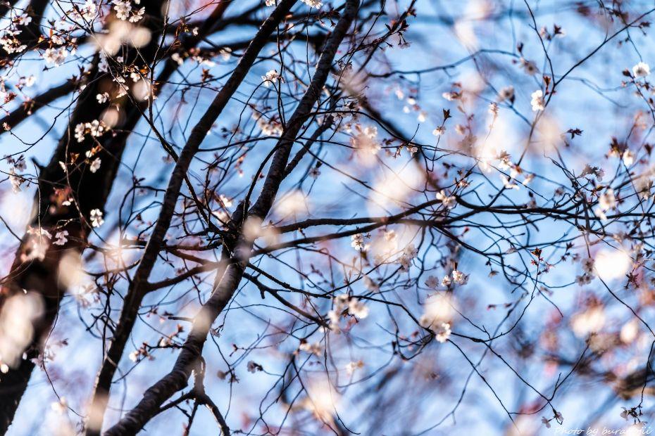 2015.04.02カタクリ・ギフチョウ22