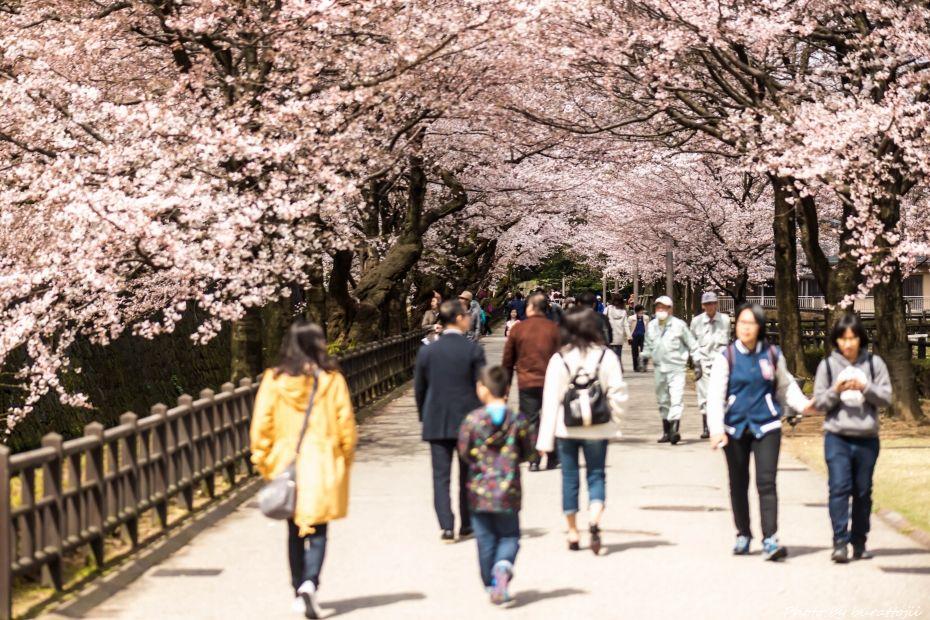 2015.04.04金沢城の桜15