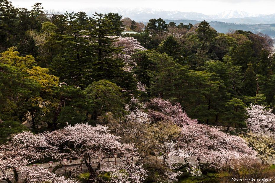 2015.04.04金沢城の桜12