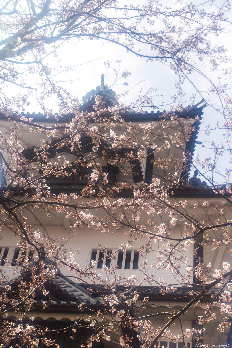 2015.04.04金沢城の桜9
