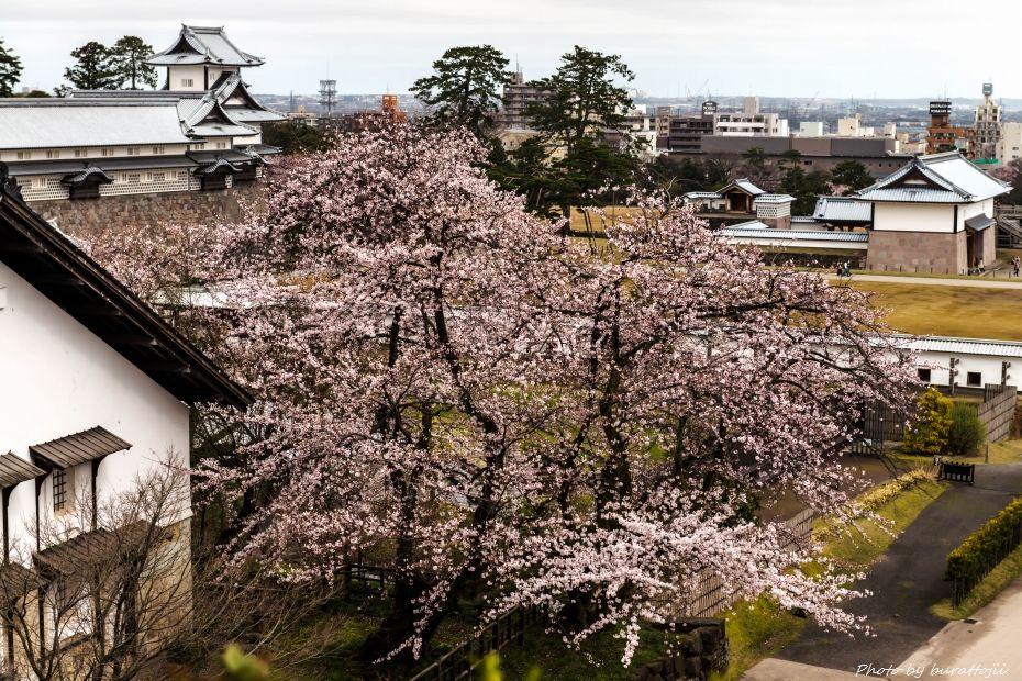 2015.04.04金沢城の桜7