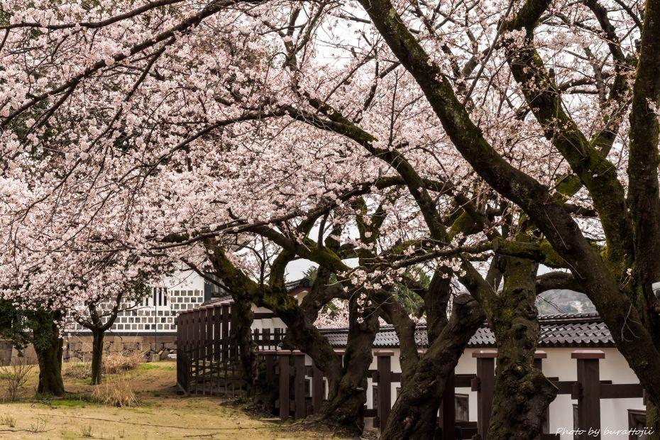 2015.04.04金沢城の桜3