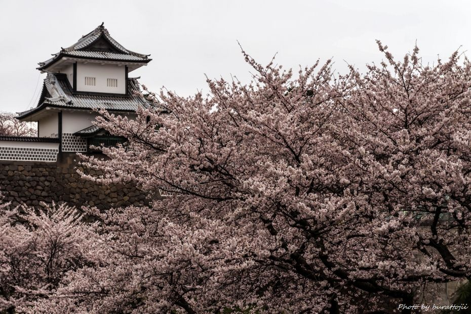 2015.04.04金沢城の桜1
