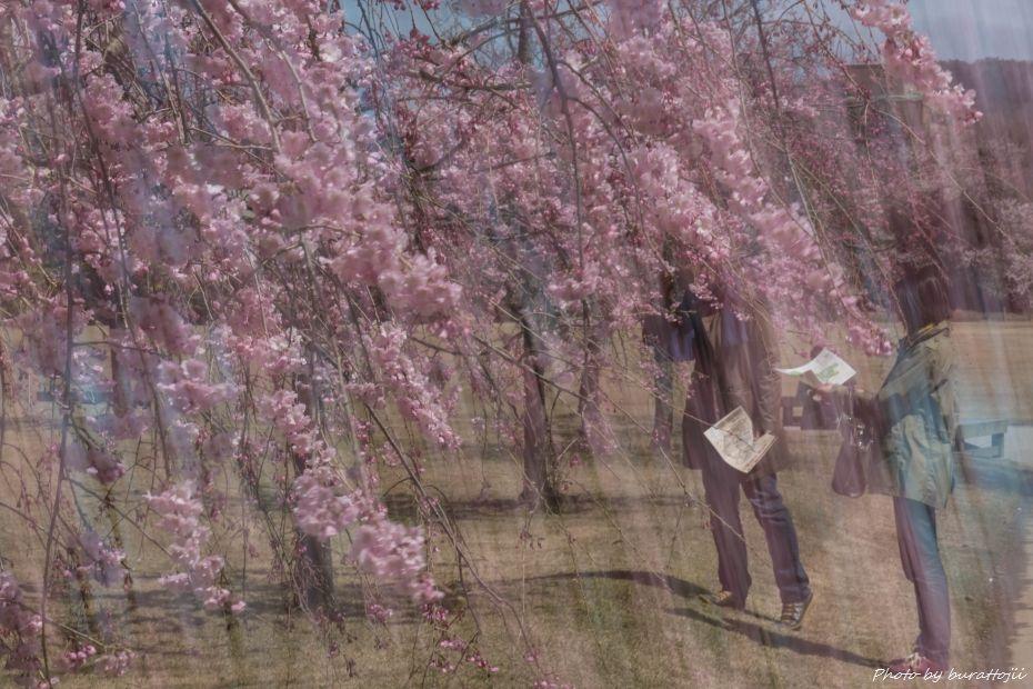 2015.04.04金沢城公園の桜11