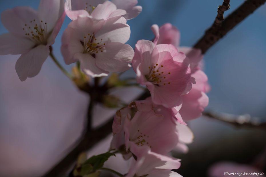 2015.04.04金沢城公園の桜10