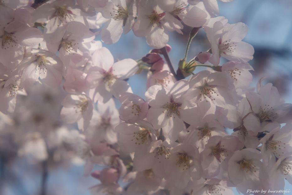 2015.04.04金沢城公園の桜8
