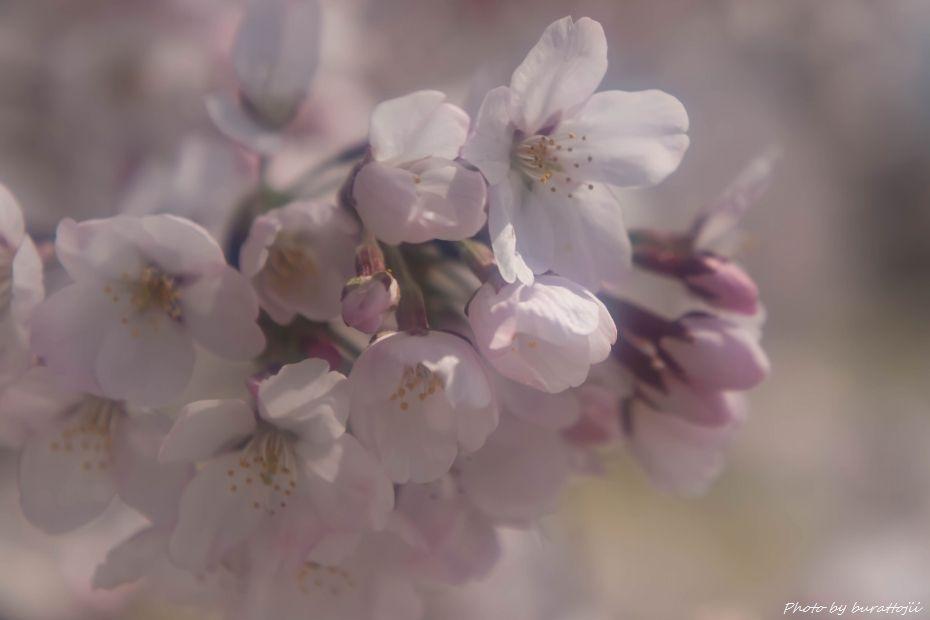 2015.04.04金沢城公園の桜9
