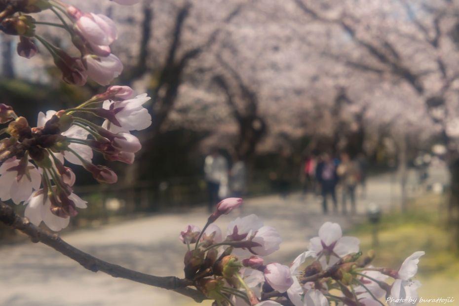 2015.04.04金沢城公園の桜7