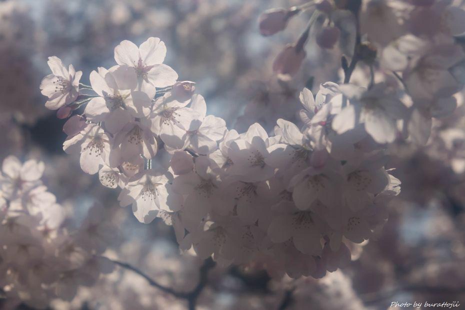 2015.04.04金沢城公園の桜6