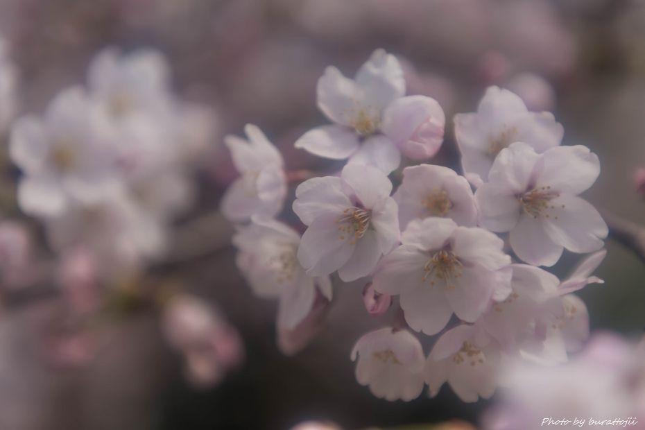 2015.04.04金沢城公園の桜4