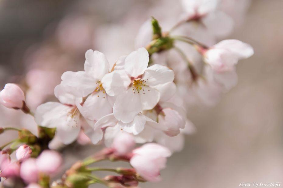 2015.04.04金沢城公園の桜3
