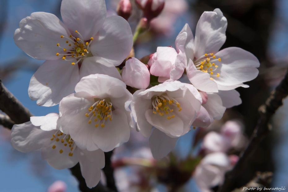 2015.04.04金沢城公園の桜1