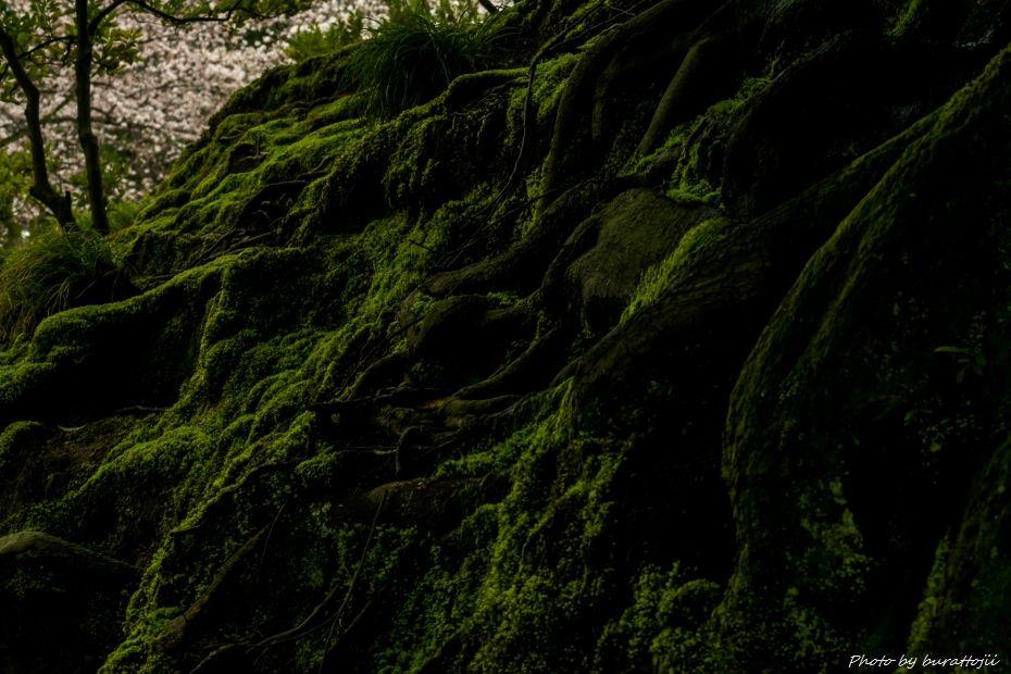 2015.04.04兼六園の緑鮮やか6