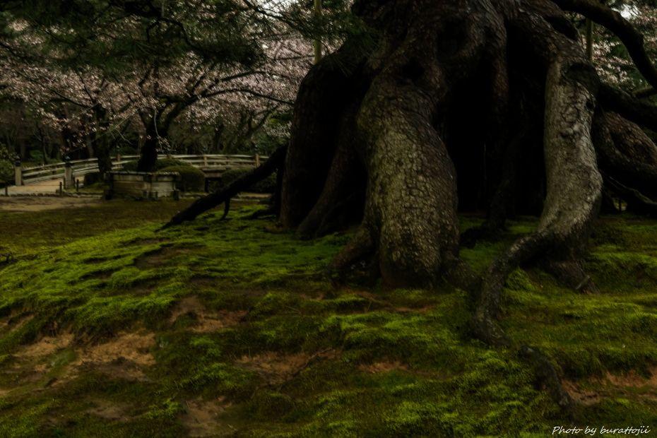2015.04.04兼六園の緑鮮やか4