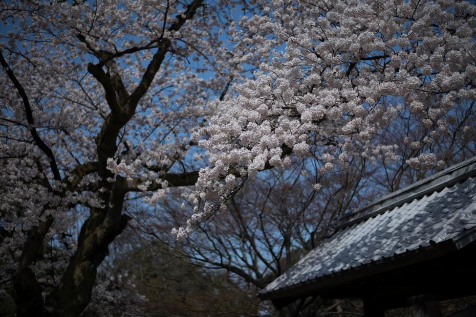 2015.04.09金沢城の桜5