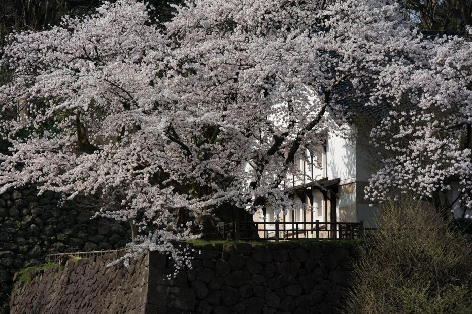 2015.04.09金沢城の桜4