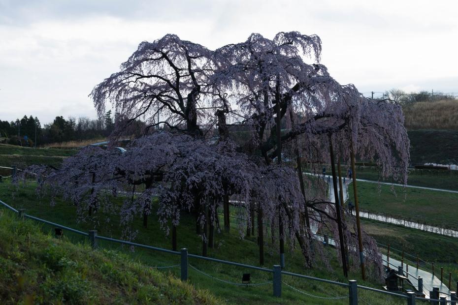 2015.04.15三春滝桜4