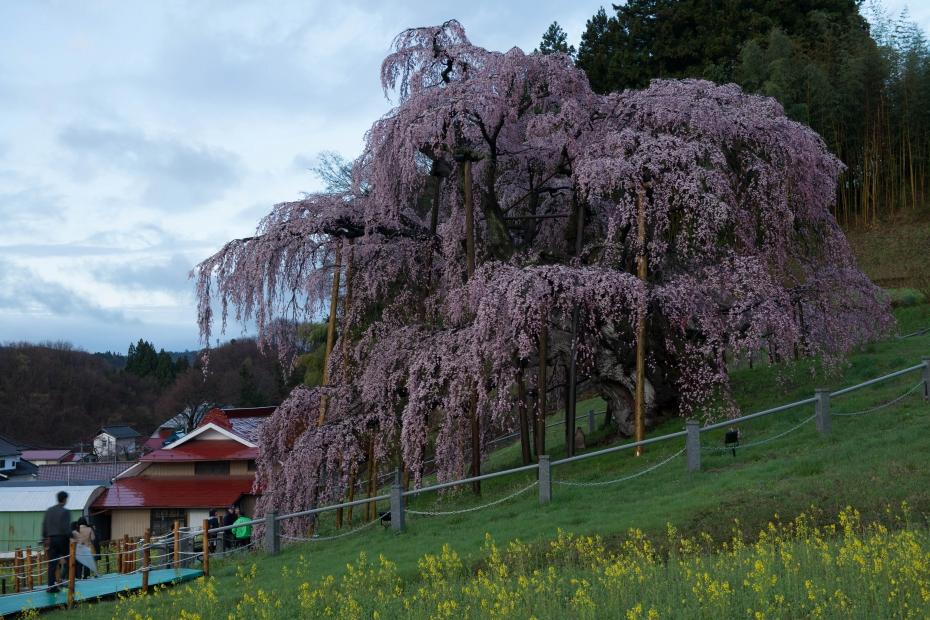 2015.04.15三春滝桜3