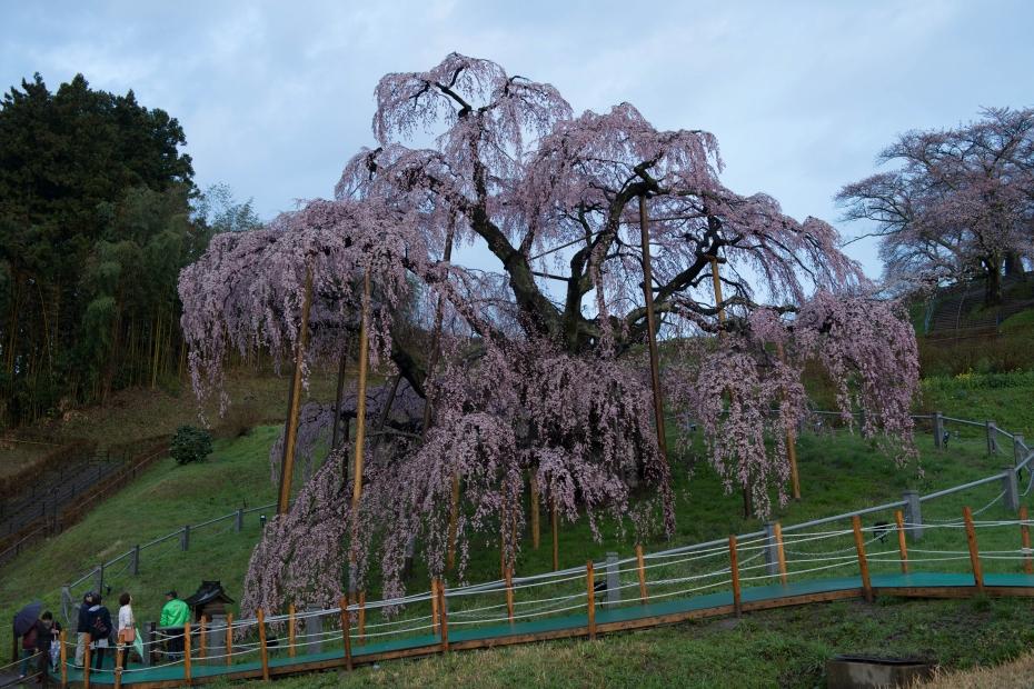 2015.04.15三春滝桜2