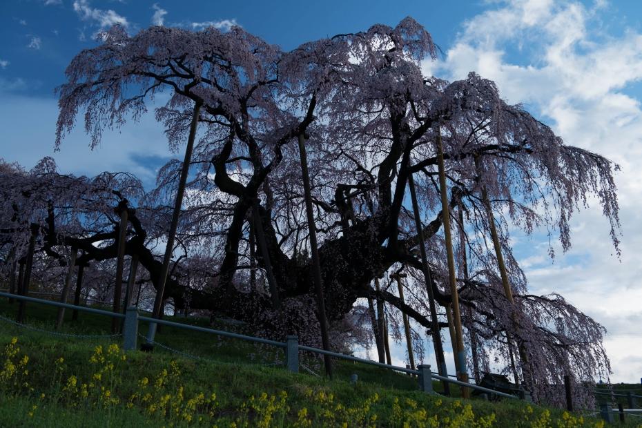 2015.04.15三春滝桜1