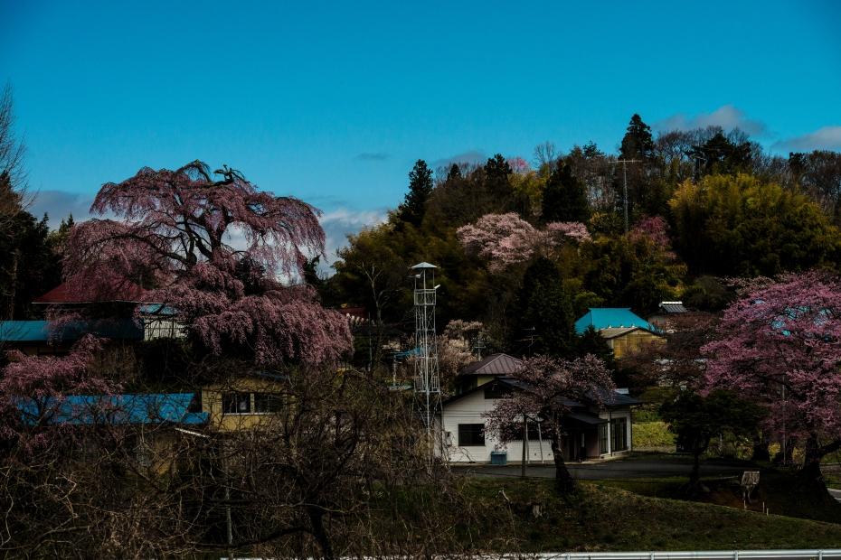 11.2015.04.15道すがらの桜2
