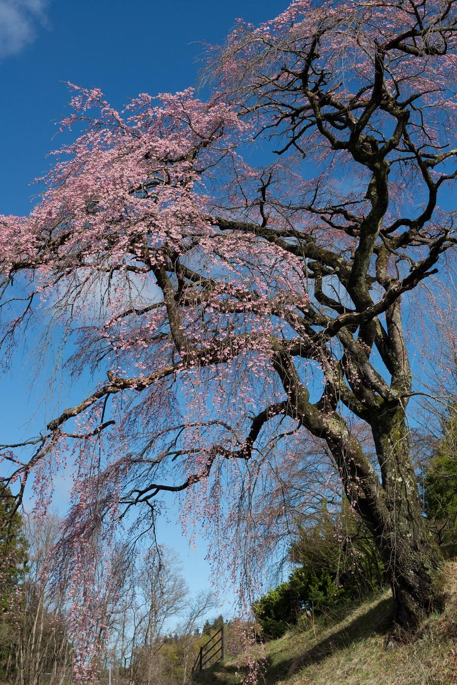 4.2015.04.15伊勢桜2