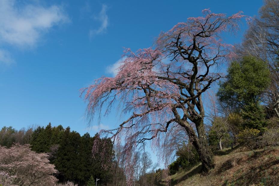 5.2015.04.15伊勢桜3