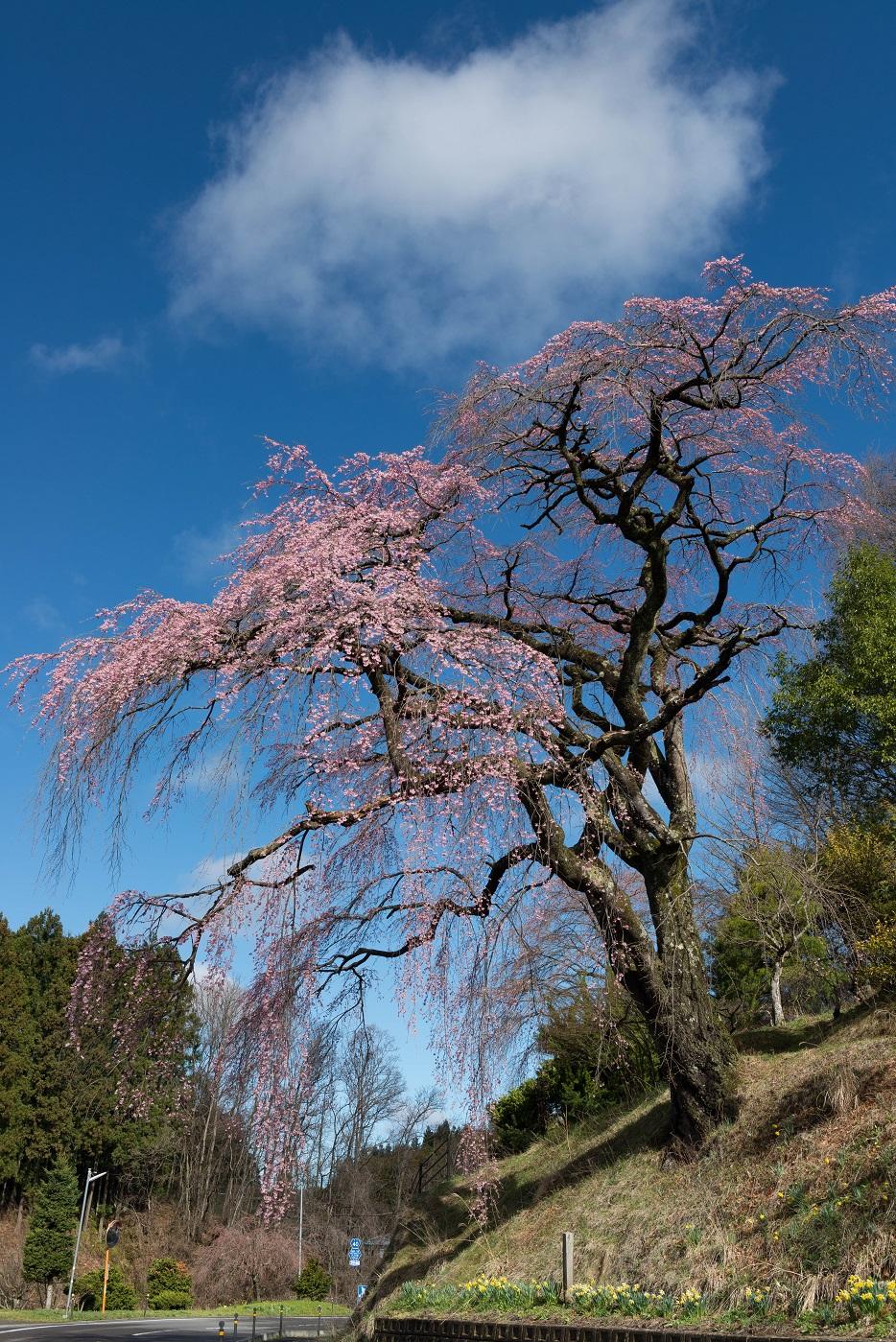 3.2015.04.15伊勢桜1