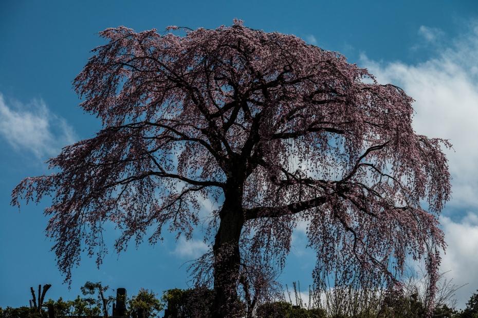 9.2015.04.15三春町なか法蔵寺桜1