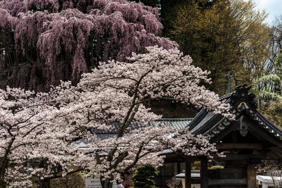 3.2015.04.15三春町なか福聚寺桜1