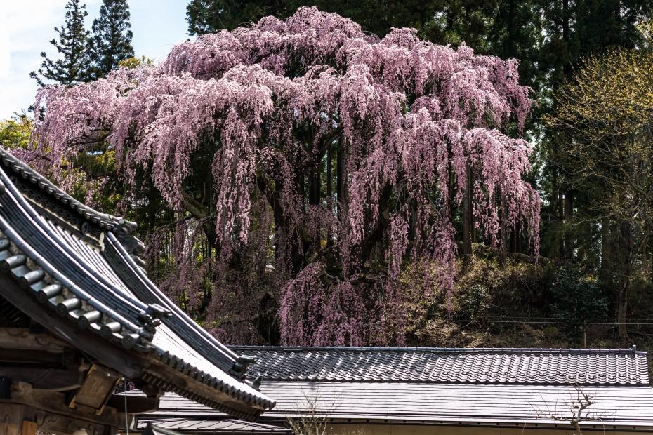 4.2015.04.15三春町なか福聚寺桜2