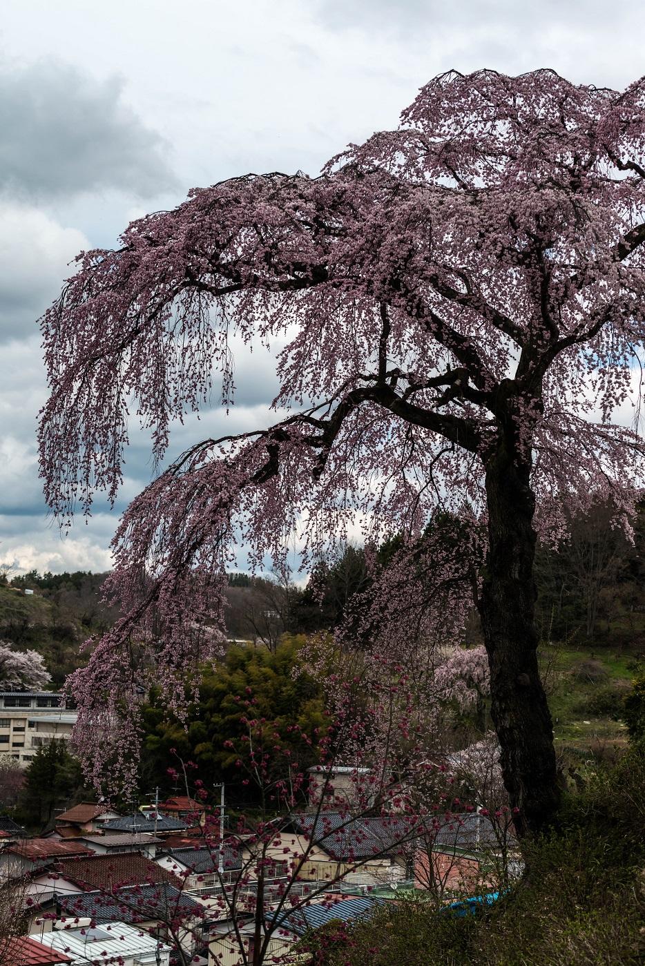 10.2015.04.15三春町なか法蔵寺桜2