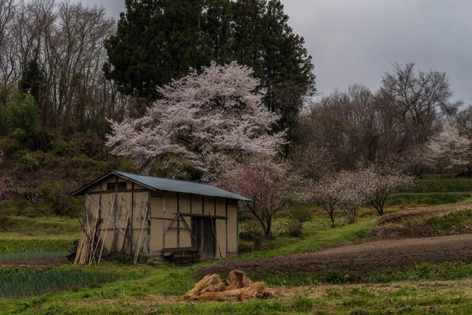 6.2015.04.16天神夫婦桜周辺