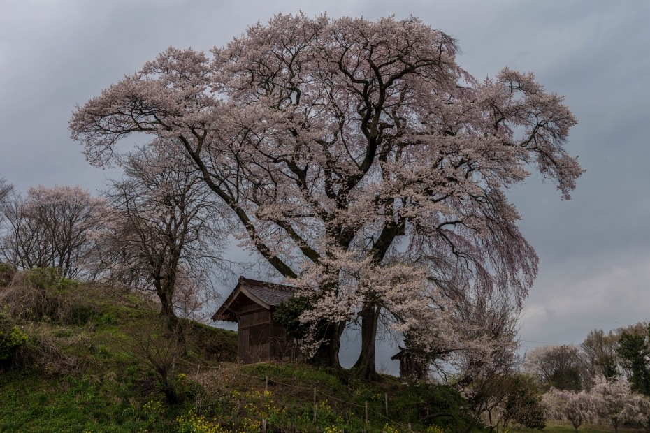 5.2015.04.16天神夫婦桜