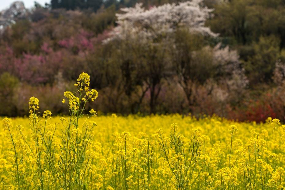 2015.04.16花見山15
