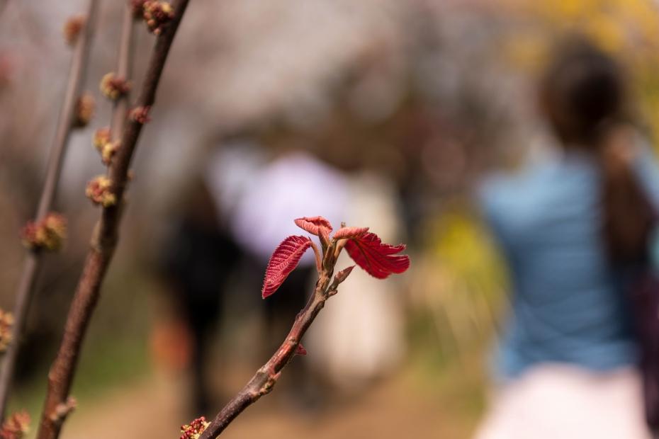 2015.04.16花見山6オオバベニがシワ