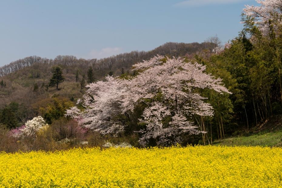 2015.04.16花見山3