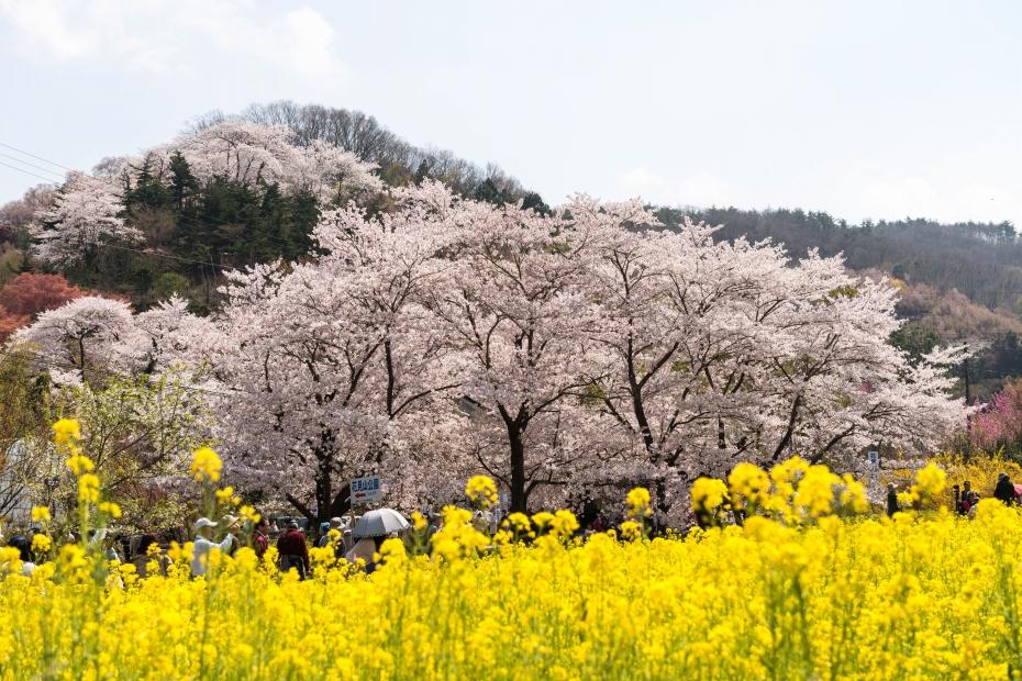 2015.04.16花見山2