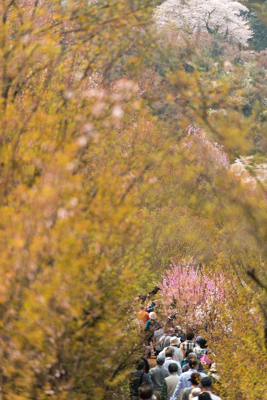 2015.04.16花見山10