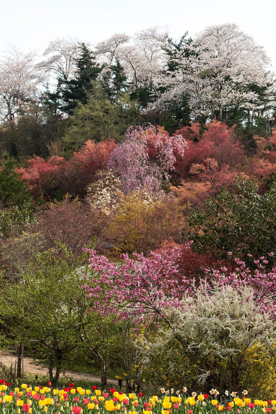 2015.04.16花見山1