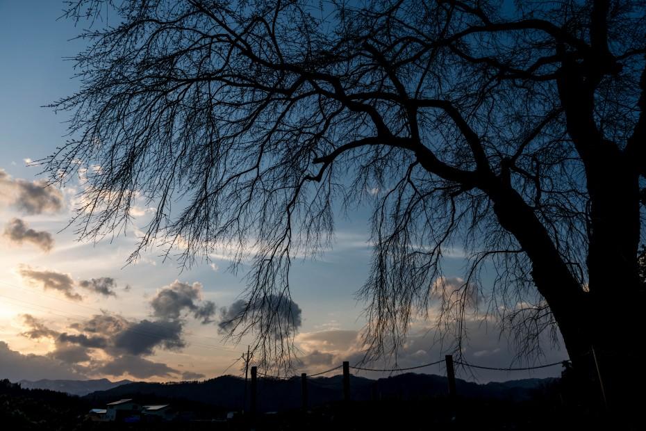 32015.04.17おしら様の枝垂れ桜4