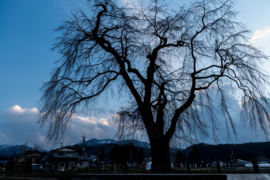 32015.04.17おしら様の枝垂れ桜3