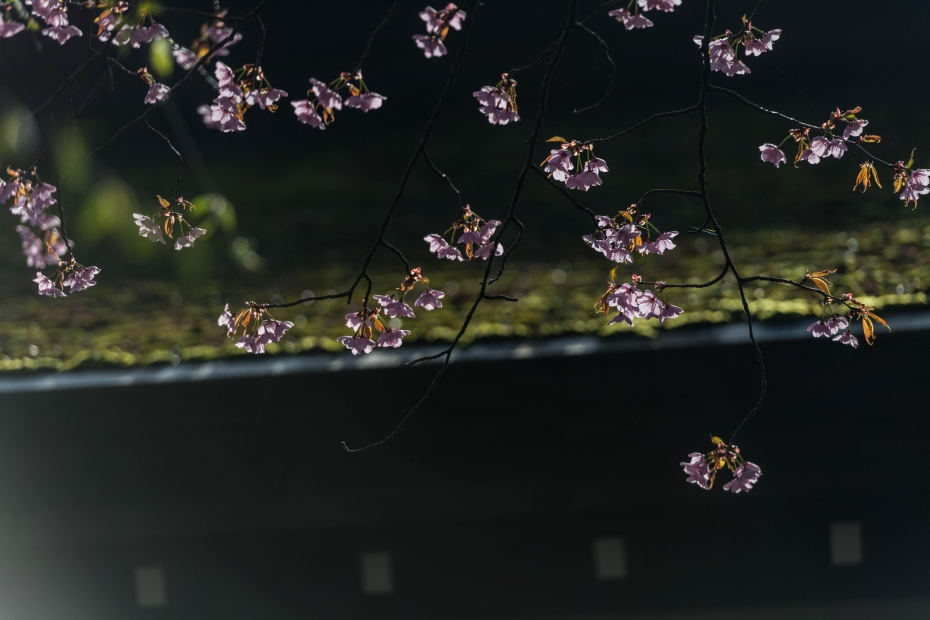 2015.04.21角館の桜18