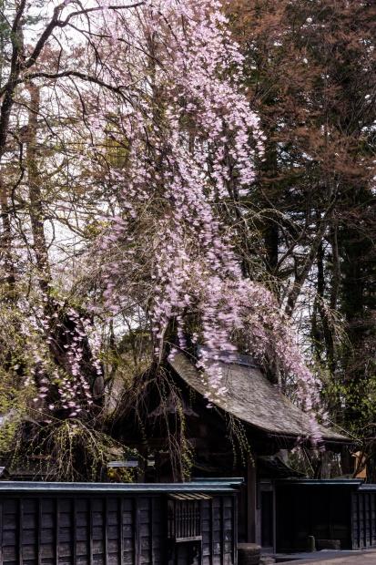 2015.04.21角館の桜6