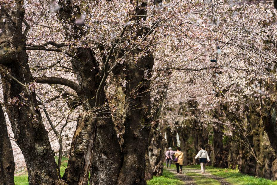 2015.04.21角館の桜4