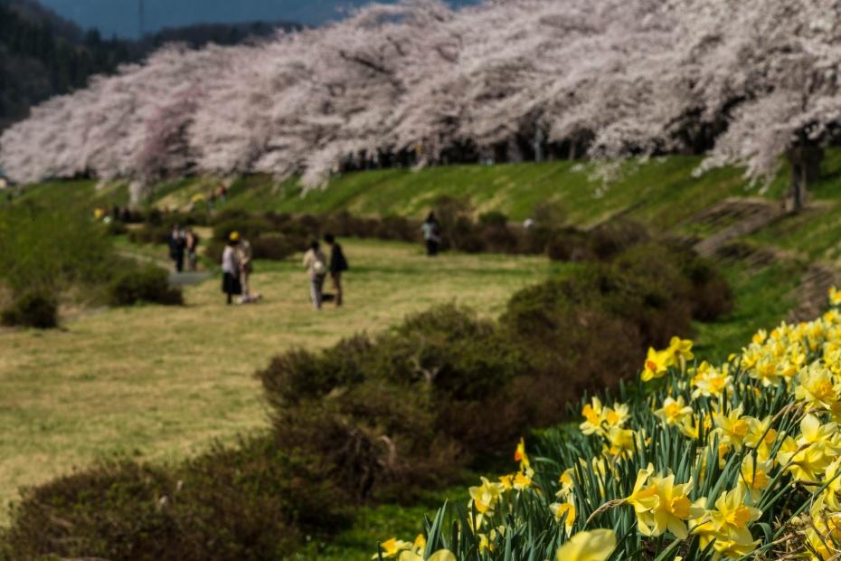 2015.04.21角館の桜2