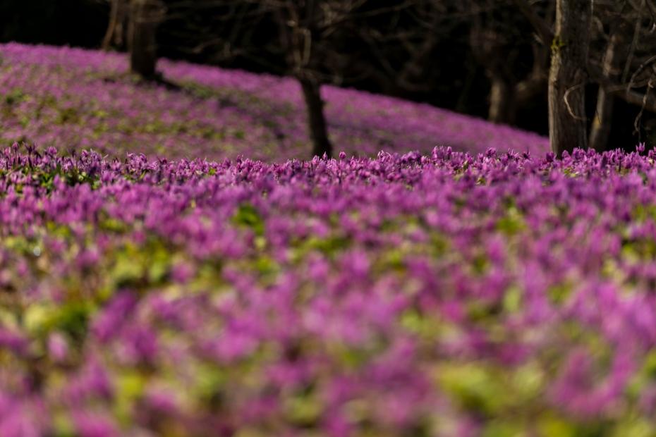 2015.04.22西木のかたくり群生の郷2